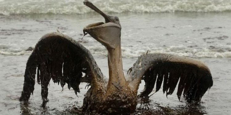 Bird covered in oil - file