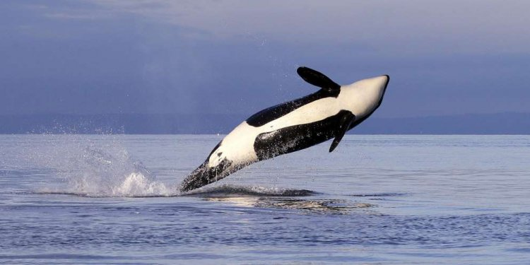 A female Orca whale leaps from