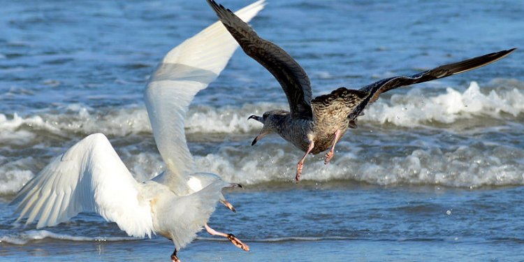Glaucous Herring Gull Dispute