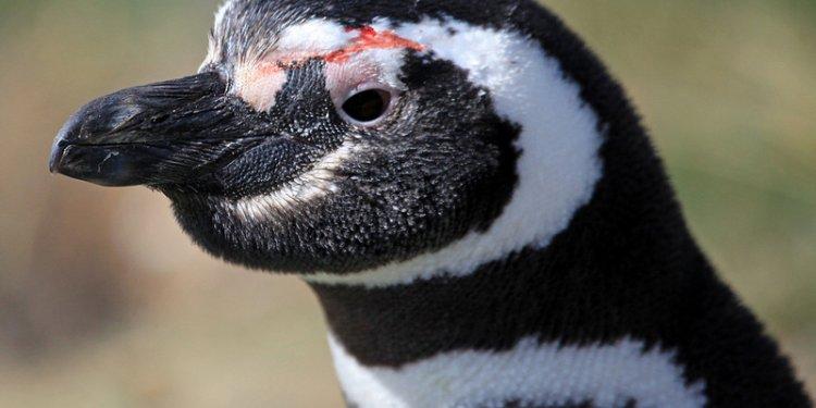 Magellanic Penguin (Spheniscus magellanicus