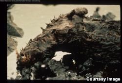 a-dead otter is among hundreds of thousands of pets oiled or killed because of the Exxon Valdez oil spill. (Credit: Alaska Resources Library and Ideas Service)