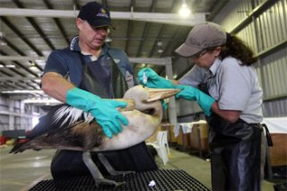 Cleaning a-sea bird affected by an oil spill