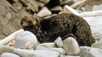 Oiled sea-otter Hauled Out After the Exxon Valdez Oil Spill