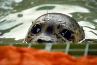 Seals that swim within the ocean are killed by oil spills