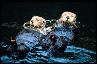 those two ocean otters tend to be covered in oil from a spill