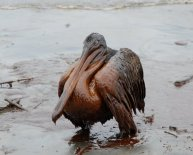 Oil spills on animals